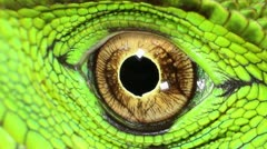 Amazon Forest Dragon (Enyalioides laticeps) Stock Footage