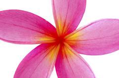 Frangipani flower isolated on white Stock Photos