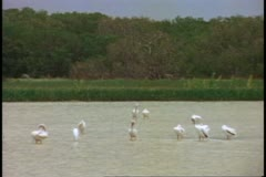 The Everglades, wide shot, birds wading in wide pool Stock Footage
