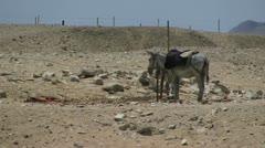 Donkey on arid land in Egypt Stock Footage