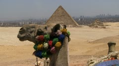 Camels head foreground with pyramids in background Stock Footage