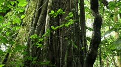 Lianas entangling a rainforest tree Stock Footage