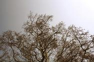 Stock Photo of maple branches