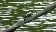 Red Earred Pond Slider Turtle On Log Stock Footage