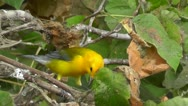 Stock Video Footage of Amid Nature - Prothonotary Warbler Bird Among the Poison Ivy