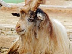 Condescending goat ammotragus lervia - stock photo