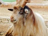 Stock Photo of Condescending goat ammotragus lervia