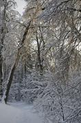 beautifu frozen winter forest - stock photo