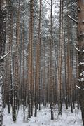 pattern of the winter pine tree forest - stock photo
