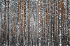 close view of the winter pine tree forest - stock photo