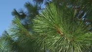 Ponderosa Pine med 02 Stock Footage