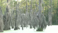 Stock Video Footage of Green Swamp