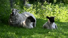 Mother sheep & lambs resting in shade Stock Footage