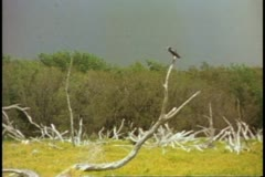Everglades National Park, bird perched on limb of dead tree Stock Footage