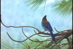 Bluejay in Yosemite National Park, soft lighting, close-up Stock Footage