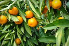 tangerine hanging from the tree - stock photo
