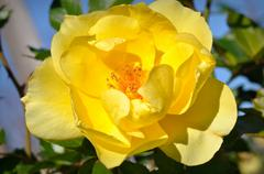 Stock Photo of yellow rose