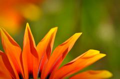 Orange and black african daisy Stock Photos