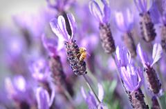 Honey bee on spanish lavender Stock Photos