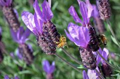 honey bees on purple lavender flower - stock photo