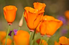 Stock Photo of california golden state poppy