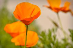 Stock Photo of california state poppy