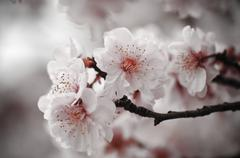 cherry blossom with pink background - stock photo