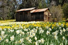 Tourist attraction daffodil hill california in spring Stock Photos