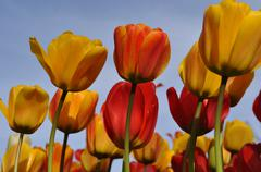 Orange and yellow tullips with blue sky Stock Photos