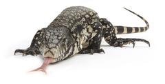 black and white tegu lizard - stock photo