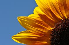 sunflower close up - stock photo