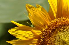 Stock Photo of sunflower close up