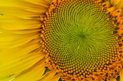 Sunflower close up Stock Photos