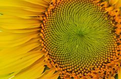 Auringonkukka läheltä Kuvituskuvat