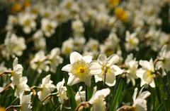 white daffodil flower - stock photo