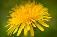 close up macro of yellow dandelion - stock photo