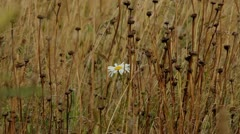 One white daisy Stock Footage
