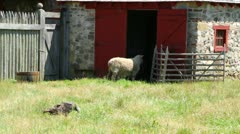 Sheep and Turkey at Small Cottage Farm Stock Footage