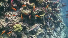 Stonefish on Coral Reef, Red sea Stock Footage
