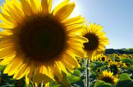 Stock Photo of sunflower field