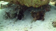 African lionfish on Coral Reef, Red sea Stock Footage