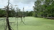 Stock Video Footage of Green Swamp with Trees