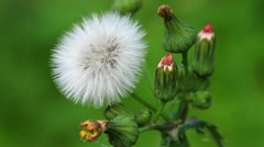 Autumn dandelion - Leontodon autumnalis Stock Footage