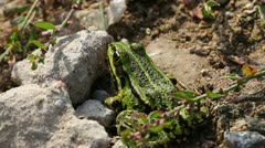 Frog Pond - Pelophylax esculentus Stock Footage