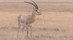 Gazelle in Africa - stock footage