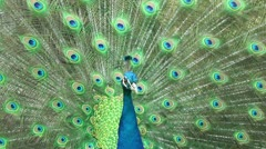 Beautiful peacock close-up Stock Footage