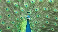 Stock Video Footage of Beautiful peacock close-up