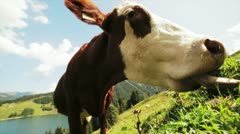 Cow Grazing in meadow Stock Footage