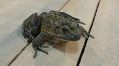 amphibians frog - stock photo
