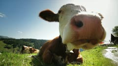 Cow super close up Stock Footage